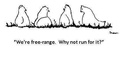 free range chickens run for it